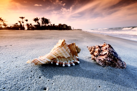 beach-conch-shells