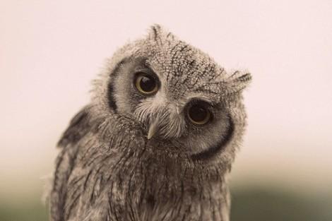 Wisdome Owl